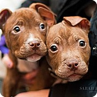 Adopt A Pet :: Litter of Red Male Puppies - Reisterstown, MD