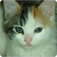 Adopt A Pet :: Callie - Washington Terrace, UT