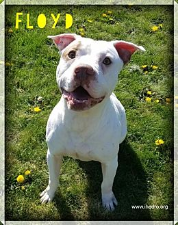 Pit Bull Terrier Mix Dog for adoption in Blacklick, Ohio - Floyd