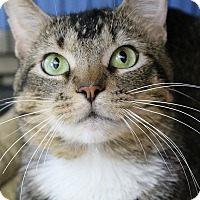 Adopt A Pet :: Amarit - Chicago, IL