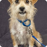 Jack Russell Terrier/Toy Poodle Mix Dog for adoption in Davis, California - SERGE-PLAYFUL!!!