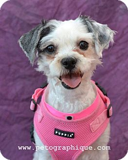 Maltese/Shih Tzu Mix Dog for adoption in Las Vegas, Nevada - Miriam