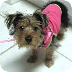 Yorkie, Yorkshire Terrier Mix Puppy for adoption in Beechgrove, Tennessee - Piper