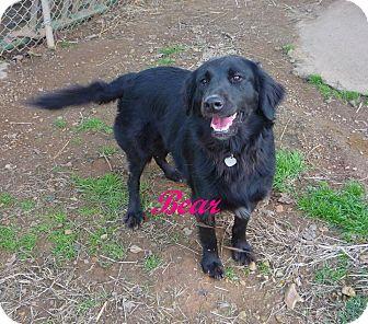Labrador Retriever/Golden Retriever Mix Dog for adoption in Linden, Tennessee - Bear-Bear