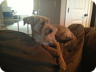 Yorkie, Yorkshire Terrier Mix Dog for adoption in Ft. Collins, Colorado - Abigail