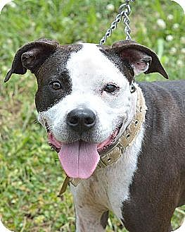American Pit Bull Terrier Mix Dog for adoption in Mt. Vernon, Indiana - Elsie