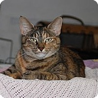 Domestic Shorthair Cat for adoption in New Port Richey, Florida - Cleopatra