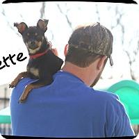 Adopt A Pet :: Suzette - Rockwall, TX