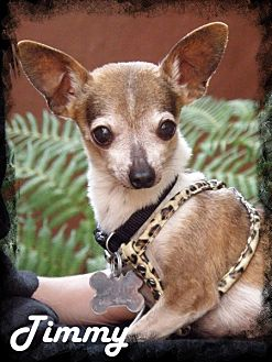 Chihuahua Dog for adoption in Anaheim Hills, California - Timmy
