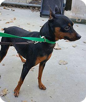 Miniature Pinscher Dog for adoption in Denver, Colorado - Antonio