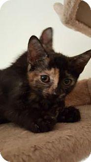 Domestic Shorthair Kitten for adoption in Mission Viejo, California - Sandie