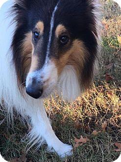 Collie Dog for adoption in Chesapeake, Virginia - Tucker