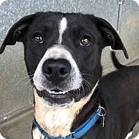Adopt A Pet :: Domino - Big Canoe, GA