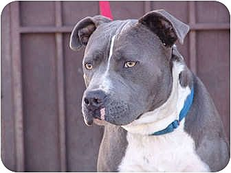 American Bulldog/American Pit Bull Terrier Mix Dog for adoption in West Los Angeles, California - Maxwell