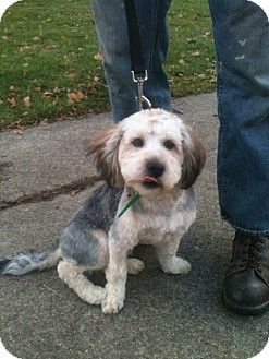 Shih Tzu/Yorkie, Yorkshire Terrier Mix Dog for adoption in Youngstown, Ohio - Charlie ~ Pending Adoption