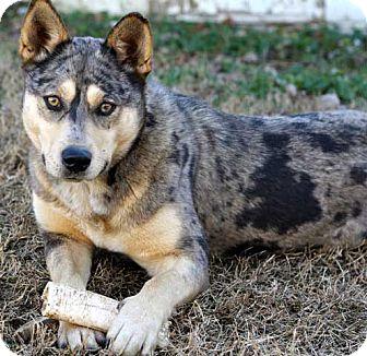 Husky/Catahoula Leopard Dog Mix Dog for adoption in Salem, New Hampshire - TASHA