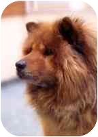 Chow Chow Dog for adoption in Columbus, Ohio - Mafusa--Courtesy