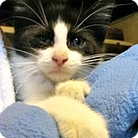 Adopt A Pet :: Checkers Nixon - Toledo, OH