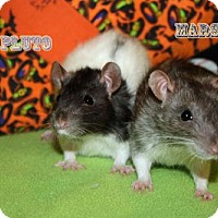 Rat for adoption in Walker, Louisiana - Pluto