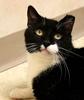 Domestic Shorthair Cat for adoption in Montclair, New Jersey - Tommy