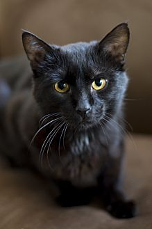 Domestic Longhair Cat for adoption in Chicago, Illinois - Gallagher