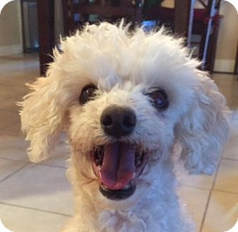 Poodle (Miniature) Mix Dog for adoption in Clayton, California - Baby