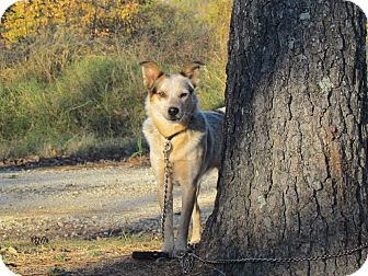Australian Cattle Dog Dog for adoption in Bedminster, New Jersey - CALLIE