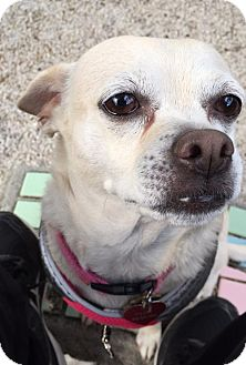 Chihuahua Dog for adoption in Fort Lauderdale, Florida - Princess