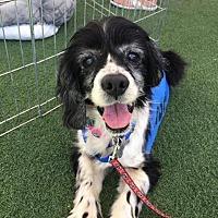 Adopt A Pet :: Pickles - El Cajon, CA