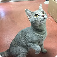 Adopt A Pet :: Lace - Tioga, PA
