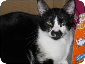 Domestic Shorthair Cat for adoption in Sterling Hgts, Michigan - Paco (lover)