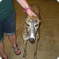 Adopt A Pet :: Ale Joey Bishop - Knoxville, TN