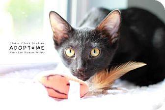 Domestic Shorthair Cat for adoption in Edwardsville, Illinois - Emily