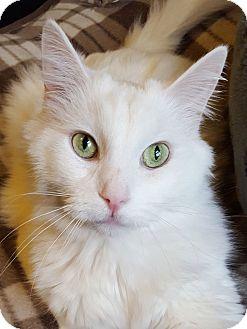 Domestic Longhair Cat for adoption in Huntsville, Alabama - Harrison **Declawed**