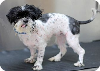 Shih Tzu Dog for adoption in Concord, North Carolina - Dot Dot