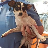Adopt A Pet :: Dolly - Westminster, CA