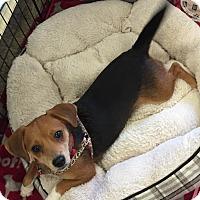 Adopt A Pet :: Salsa - Brea, CA