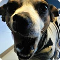 Adopt A Pet :: Princess Leia - Seattle, WA
