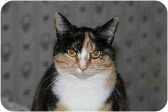 Calico Cat for adoption in Everett, Washington - Miss Paint