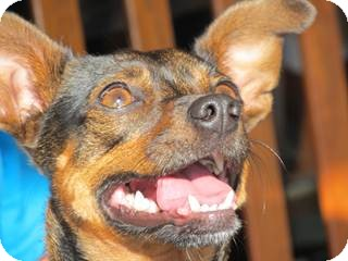 Chihuahua Mix Dog for adoption in San Diego, California - Clementine