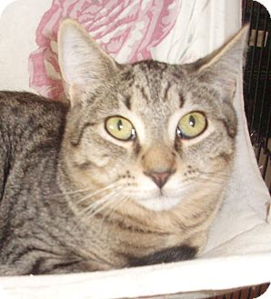 Domestic Shorthair Cat for adoption in Germansville, Pennsylvania - Beamer