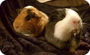 Guinea Pig for adoption in Fullerton, California - Clementine and Belle