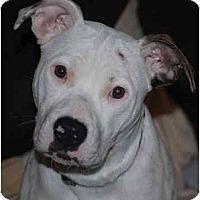 Adopt A Pet :: Clancy URGENT FOSTER NEEDED - Seattle, WA