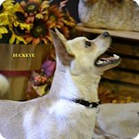 Adopt A Pet :: BUCKEYE - Higley, AZ
