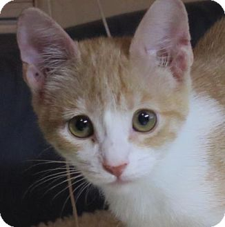 Domestic Shorthair Cat for adoption in Gonzales, Texas - Sesame