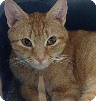 Domestic Shorthair Cat for adoption in Hendersonville, North Carolina - Yardly