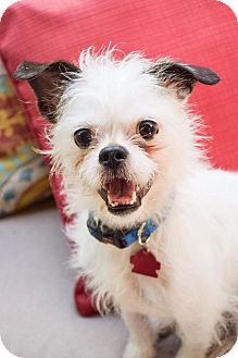 Terrier (Unknown Type, Small)/Chihuahua Mix Dog for adoption in DFW, Texas - Monte