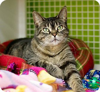 Domestic Shorthair Cat for adoption in Troy, Michigan - Fuzzy Bubbles