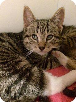 Domestic Shorthair Kitten for adoption in Brooklyn, New York - Jupiter