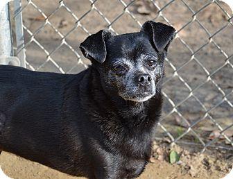 Chihuahua Mix Dog for adoption in Santa Barbara, California - Petunia